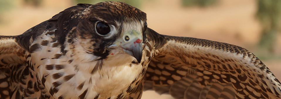 Die ultimative Falken-Erfahrung
