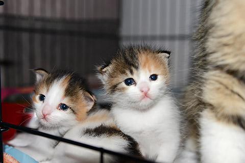 Dreifarbige Kätzchen
