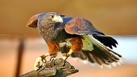 Raubvogelshow