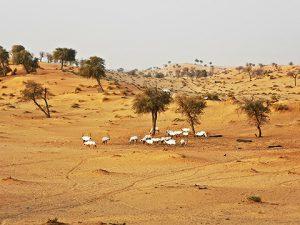 Oryx-Herde