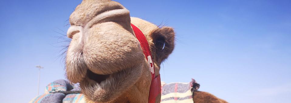 Heritage Festival und Kamelrennen in Marmoom 2019