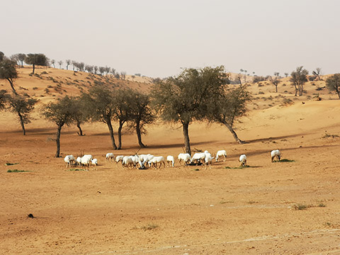 Oryxe unter Ghaf Trees