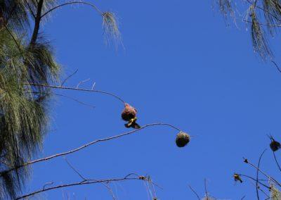 11 Webervögel