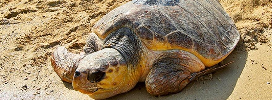63 Karett-Schildkrötennester in Sharjah