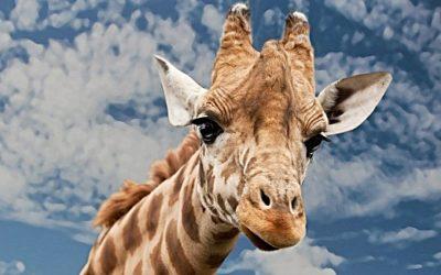 Welt-Giraffen-Tag