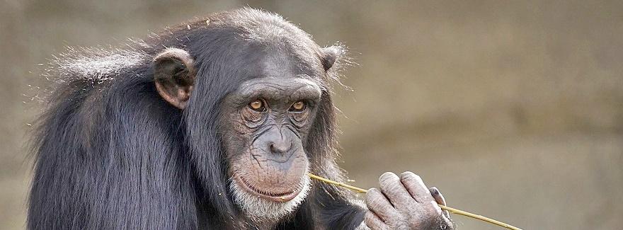 Der Tag der Schimpansen