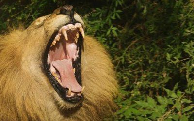 Königreich der Löwen