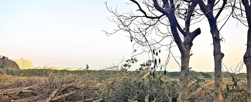 Baumentfernung in Al Hamra Village