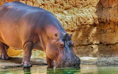 Schutz für gefährdete Nilpferde